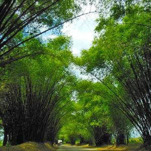 Bambus Allee Jamaika